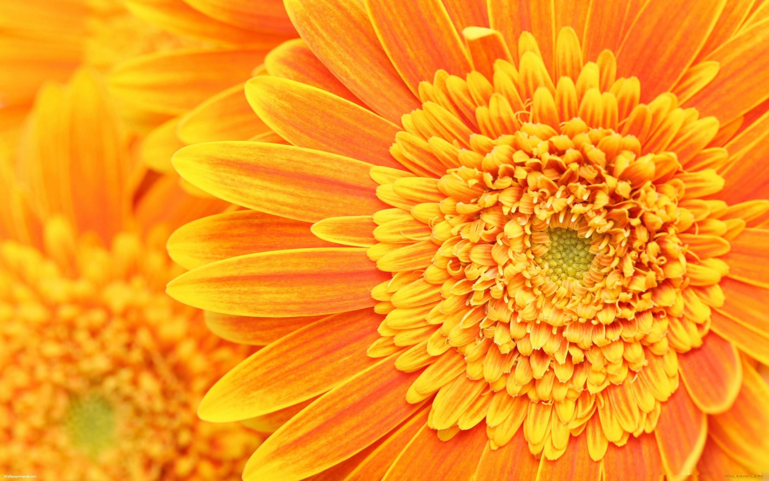 картинки оранжевый фон цветы для разбавления